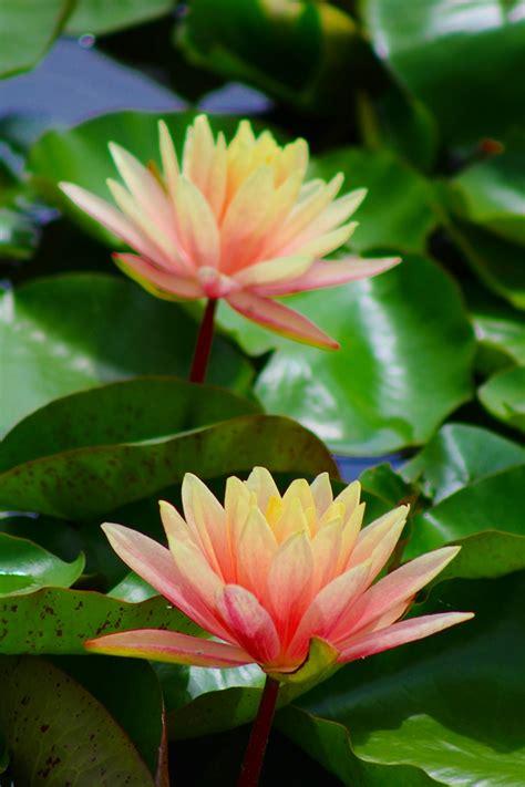 happyhazel: Dreaming in Lotus Flowers