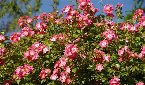 Botanischer Garten München Markt by M 252 Nchen Nymphenburg Rosiges Jubil 228 Um 25 Rosenschau
