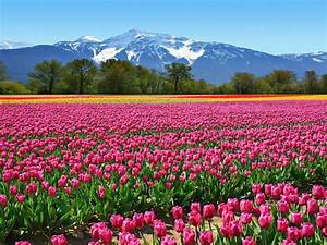 Field, Tulips, Pink, Flowers, From, The, Netherlands, Wallpaper