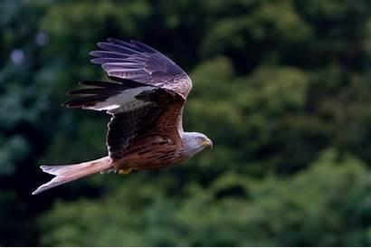 Hawk Wallpapers Kite Cool Desktop Bird Flying