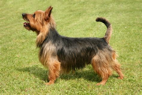 Dogs That Dont Shed Hair Aus by 15 Types Of Small Breeds That Don T Shed They Are