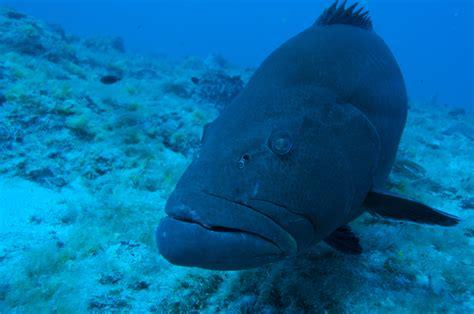 grunts grouper fish ecosystems operate tasty coastal brain windows into open jacks lessons history