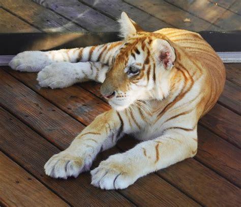 Golden Tiger Cub Pet Puppy Love Rare