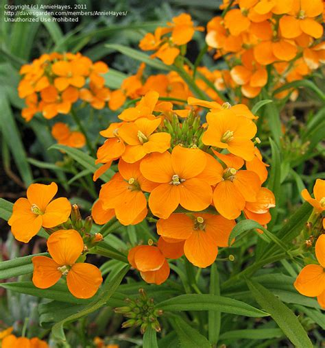wallflower siberian erysimum species smells wallflowers plant planting cheiranthus seed allionii gentle evenings breeze wonderful davesgarden
