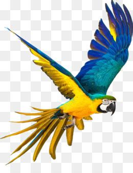 parrot png  psd   parrot bird animal