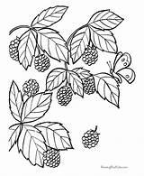 Blackberry Coloring Fruit Pages Drawing Blackberries Berry Bush Berries Spirit Fruits Rose Printable Raisingourkids Simple Sheets Pdf Getdrawings Animal Google sketch template