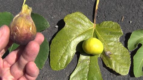 types of figs how to identify fig varieties youtube