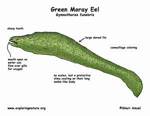 Moray Eel Diagram