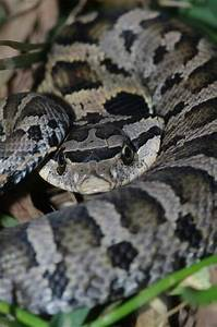 182 best images about Snakes on Pinterest   Pit viper ...