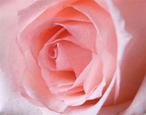Couleur Complémentaire Du Rose : signification des 10 couleurs de roses et 15 fleurs populaires ~ Zukunftsfamilie.com Idées de Décoration