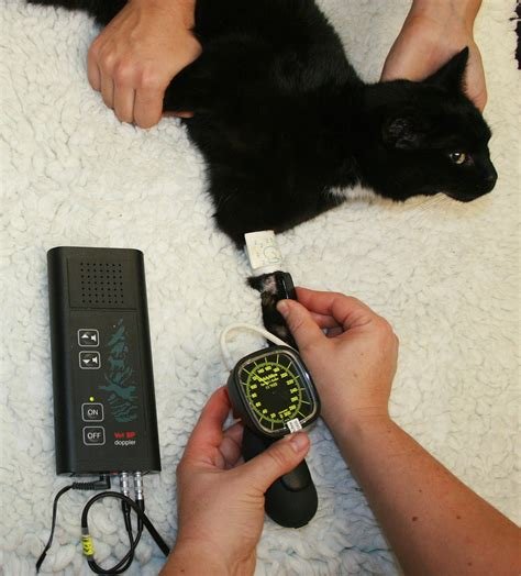 What You Need to Know About Cats and Blood Pressure - Catster