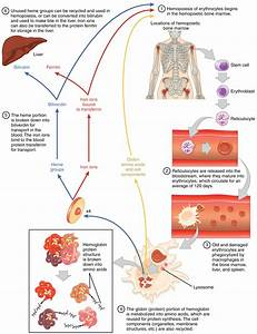 18 3 Erythrocytes  U2013 Anatomy And Physiology