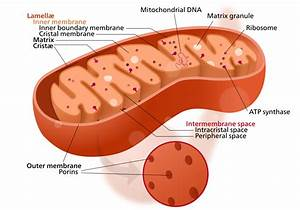 Cell Diagram With Ribosomes