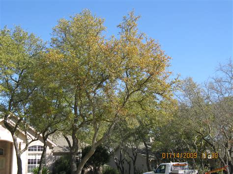 sample oak wilt testing texas plant disease diagnostic lab