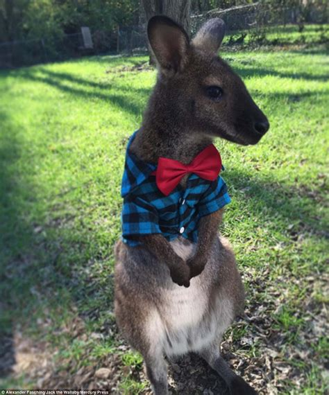 pet wallaby jack the wallaby becomes an instagram sensation with 20 000 followers daily mail online