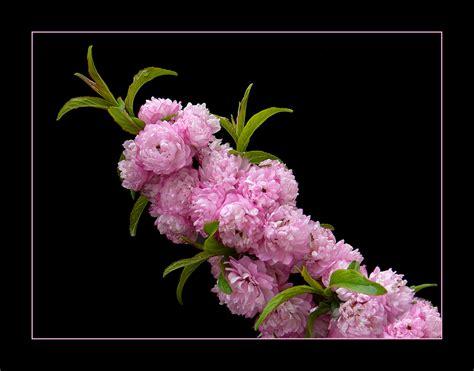 fiore giapponese 050 ciliegio da fiore giapponese foto immagini piante