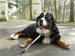 Berner Sennenhund Gewicht : gewicht berner sennen hondenforum ~ Markanthonyermac.com Haus und Dekorationen