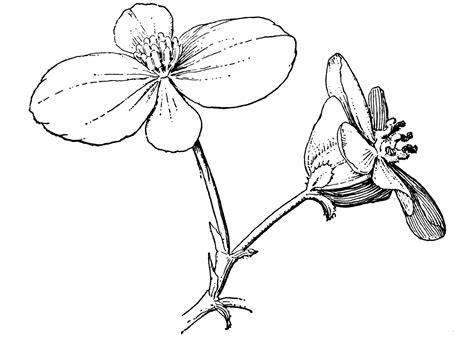 Kleurplaat Petunia by Begonia Coloring Pages To And Print For Free