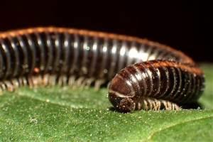 Kleine Schwarze Würmer : kleine schwarze w rmer so werden sie den portugiesischen ~ Lizthompson.info Haus und Dekorationen