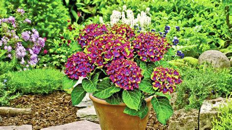 Anspruchslose Garten Pflanzen by Hortensien Pflanzen F 252 R Ihren Garten