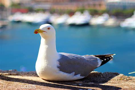 Seagull At The Port Hercule Of Monaco · Mantas Uosis