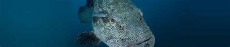 grouper goliath fact wildlife sheets long