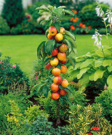colonnade apple trees columnar apple tree gardening fruit trees and bushes pinterest