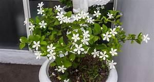 Jasmin Pflanze Pflege : jasmin als zimmerpflanze so pflegen sie sie richtig ~ Markanthonyermac.com Haus und Dekorationen