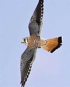 American Kestrel   Audubon Field Guide  Falcon