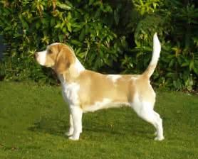 White and Tan Beagle