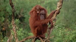 Comme On Fait Son Lit On Se Couche : l 39 orang outan un grand singe prioritaire wwf france ~ Melissatoandfro.com Idées de Décoration