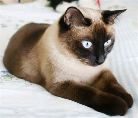 I Want A Siamese Cat  Lucky Otters Haven