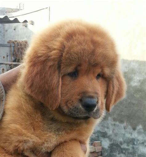 tibetan mastiff puppies ideas  pinterest