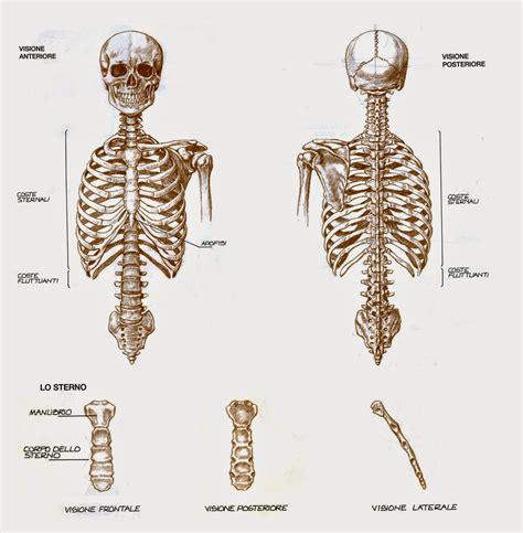 Anatomia Gabbia Toracica - canevassa anatomia artistica l apparato scheletrico