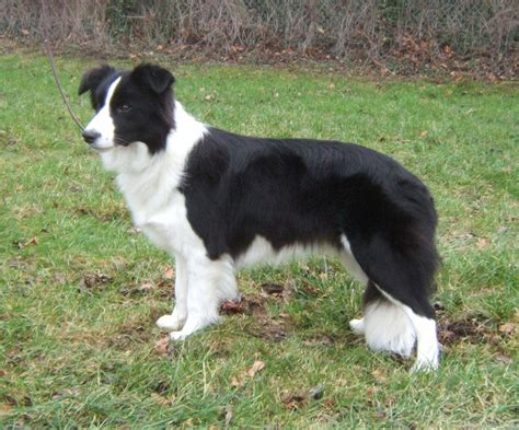 Border Collie Puppies Rescue Pictures Information Temperament Characteristics Animals