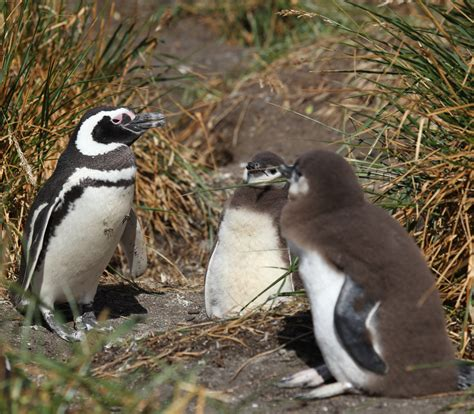 file magellanic penguin with chicks 5540904637 jpg