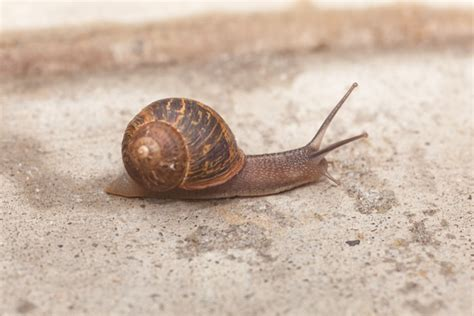 Garden Snail  Snail Facts And Information