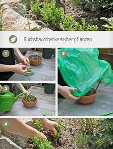 Walnussbaum Selber Pflanzen : buchsbaumhecke selber pflanzen garten ~ Michelbontemps.com Haus und Dekorationen