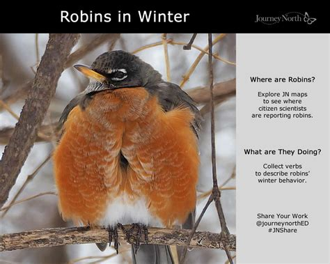 american robins migration journal