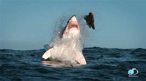 katharine   pound great white shark opens