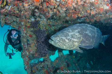grouper goliath protect diver help survey take specialty padi wreck month august florida diving puravidadivers