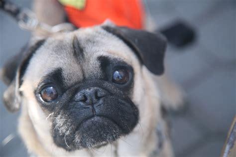 Rescue Me Pug Rescue Of Sacramento Yellow Dog Blog