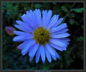 Blue Aster Flower