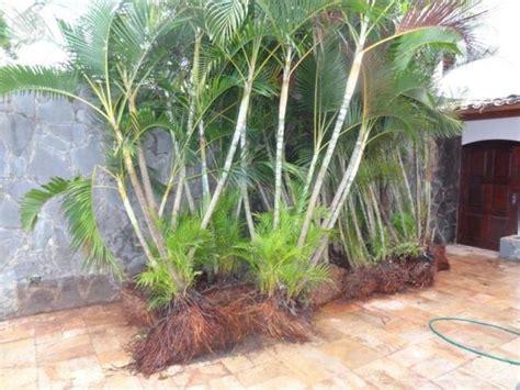 palmeira areca com vaso de polipropileno ou 🥇 【 OFERTAS ...