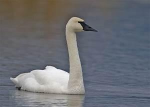 File:Trumpeter Swan - natures pics 2.jpg