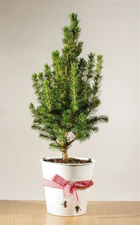 taking care of christmas trees 13 tree care tips thegoodstuff