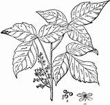 Ivy Poison Clipart Flowers Coloring Etc Shrubs Plant Pages Leaf Leaves Kava Shrub Usf Edu Template Indigo Poisonivy Brushed Itching sketch template