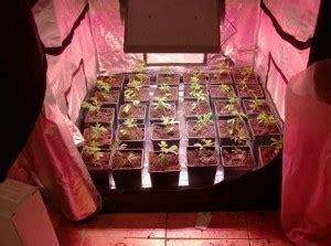 culture de cannabis avec des les led graines de