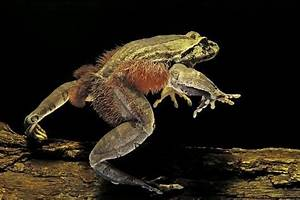 Trichobatrachus Robustus  Hairy Frog  Photographic Print