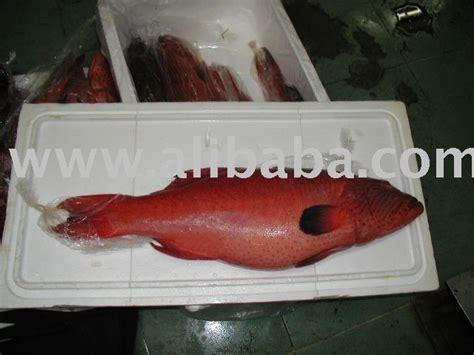 grouper fish aquatic